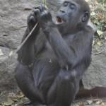 Gorila v Pražskej ZOO