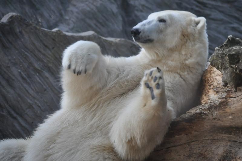 Medveď Pepík z Pražskej ZOO