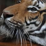 Tiger v Pražskej ZOO