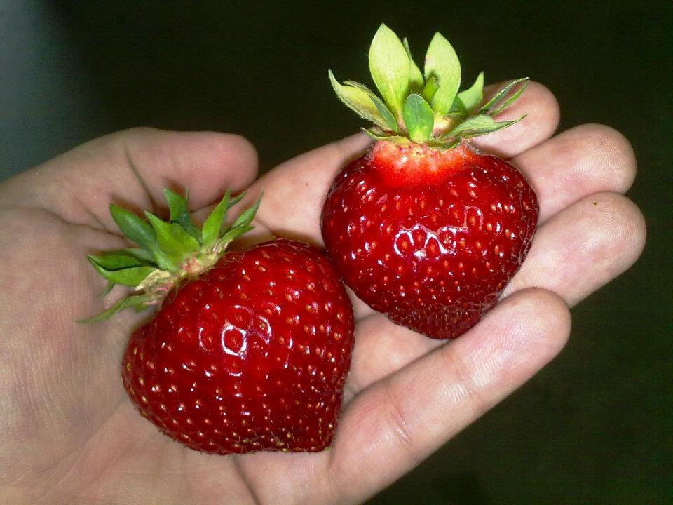 severske-jahody