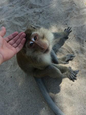 Turisti milujú opice, opice turistov s banánmi. Opičie pláže patria k najpopulárnejším atrakciám, ktoré Thajsko ponúka.