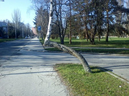 Prítulná breza