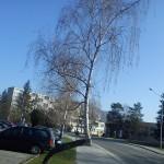Prítulná breza 2
